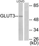 C0214-1 - GLUT3 / SLC2A3