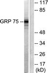 C0216-1 - Grp75 / HSPA9