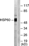 C0233-1 - HSP60