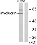 C0236-1 - Involucrin / IVL