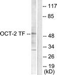 C0282-1 - POU2F2 / OCT2