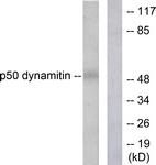 C0291-1 - Dynactin subunit 2