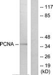 C0298-1 - PCNA