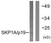 C0323-1 - SKP1 / OCP2
