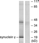 C0334-1 - Gamma-Synuclein / SNCG