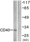 C0352-1 - CD40