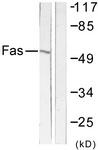 C0355-1 - CD95 / FAS