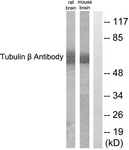 C0380-1 - TUBB3 / TUBB4