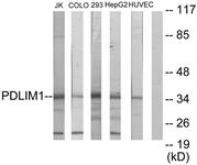 C10012-1 - PDLIM1
