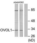 C10046-1 - OVOL1