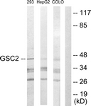 C10085-1 - Homeobox protein goosecoid-2 / GSC2