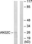 C10101-1 - ANP32C