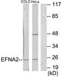 C10124-1 - Ephrin-A2