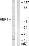 C10135-1 - HBP1