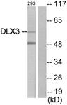C10136-1 - DLX3
