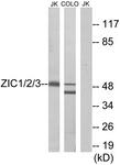 C10137-1 - ZIC1