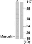 C10147-1 - Musculin