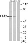 C10170-1 - SLC43A1 / LAT3