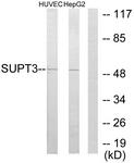 C10182-1 - SUPT3H / SPT3
