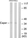 C10192-1 - Renin receptor