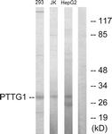 C10252-1 - Securin / PTTG1