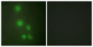 C10255-1 - ACTL6A / BAF53