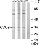 C10288-1 - CDK1