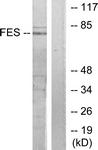 C10294-1 - c-Fes