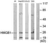 C10316-1 - HMGB1