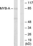 C10332-1 - MYBL1