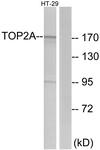 C10345-1 - TOP2A