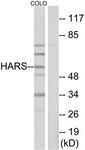 C10349-1 - Histidyl-tRNA synthetase / HARS