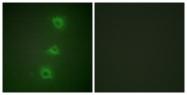 C10378-1 - B-Raf proto-oncogene