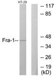 C10381-1 - Fos-related antigen 1