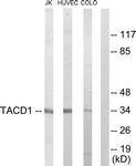 C10390-1 - CD326 / EPCAM / TACSTD1