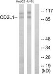 C10442-1 - CDK11 / CDC2L1
