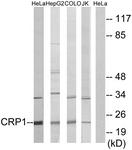 C10443-1 - CSRP1