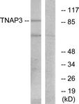 C10444-1 - TNFAIP3