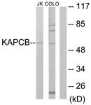 C10453-1 - PRKACB