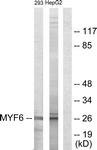 C10457-1 - MYF6
