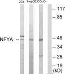 C10461-1 - NFYA