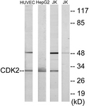 C10474-1 - CDK2