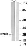 C10487-1 - HMGB2 / HMG2