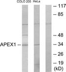 C10493-1 - APEX1 / REF-1