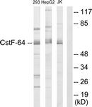 C10542-1 - CSTF2