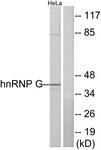 C10581-1 - RBMX / HNRPG