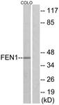 C10585-1 - FEN1 / RAD2