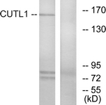 C10586-1 - CUTL1 / CDP