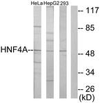 C10596-1 - HNF4 alpha / TCF14