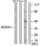 C10645-1 - HOXA1 / HOX1F